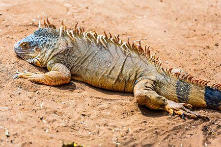 desert lizard: Iguana or lizard on yellow sand in desert Stock Photo