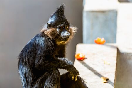 red handed: Black monkey in zoo