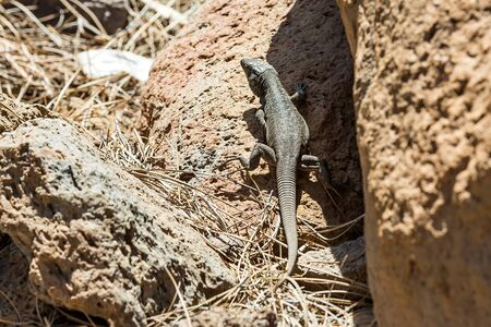 animal viviparous: Lizard or lacertian reptile sitting on ground with dry grass