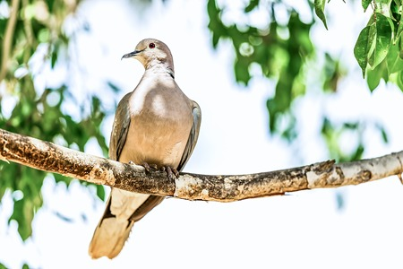 perch: White-winged Dove or pigeon siting on wooden perch in zoo