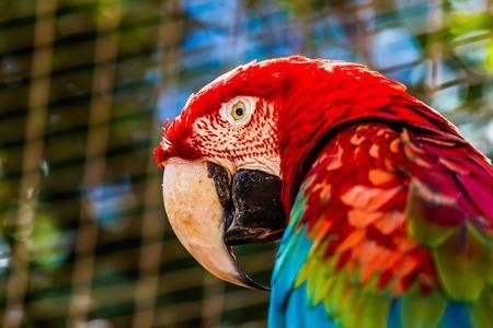 cockatoos: Primo piano della testa ritratto di Red Ara o Ara Cacatua pappagallo nella cella zoo Archivio Fotografico