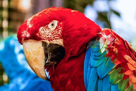 cockatoos: Primo piano della testa ritratto di Red Ara o Ara pappagallo cacatua Archivio Fotografico