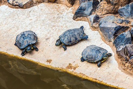 creep: Turtles or tortoises on stone shore of swamp or pond