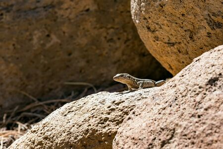 viviparous: Lizard or lacertian reptile sitting on stone