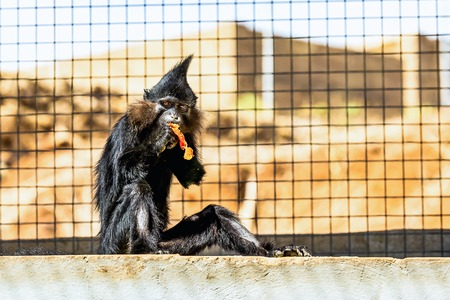 red handed: Black monkey eating orange and sitting on stone in zoo cell Stock Photo