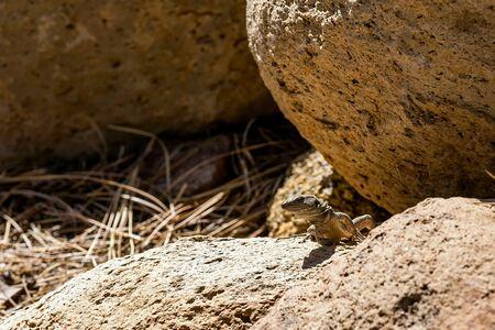 viviparous: Lizard or lacertian reptile sitting on stone