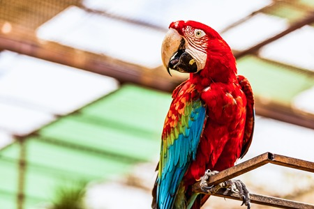 cockatoos: Red Macaw or Ara cockatoos parrot siting on metal perch Stock Photo