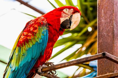 cockatoos: Red Macaw o Ara pappagallo cacatua ubicazione su metallo persico in zoo