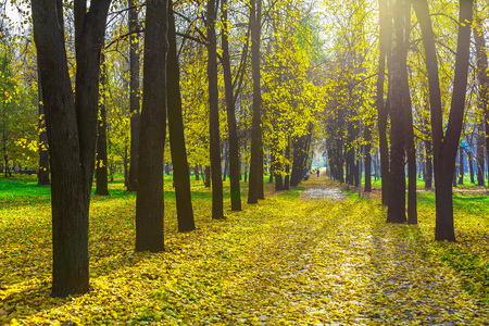 fallen leaves: Row of Autumn Trees Among Fallen Yellow Foliage in Sunlight in Park