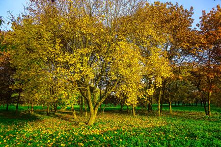 branchy: Big Branchy Yellow Maple with Yellow Fallen Leaves on Green Grass in Autumn Park