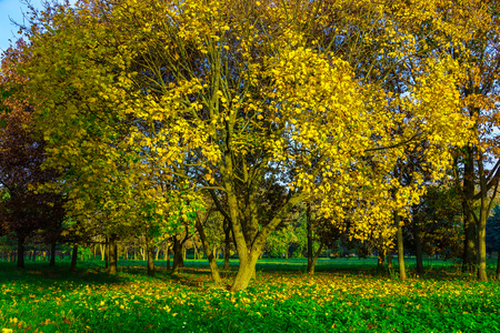 branchy: Autumn Park with Big Branchy Yellow Maple and Yellow Fallen Leaves under Tree in Sunlight Stock Photo