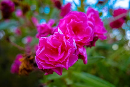 Closeup view on blooming bush with pink roses on green background in Alanya, Turkey Archivio Fotografico