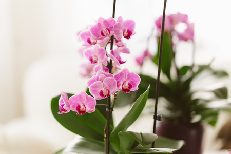 pink orchid growing at home