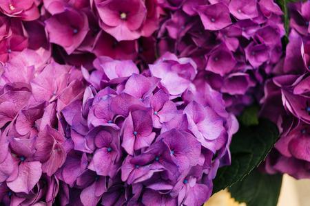 hydrangea flower: Close-up of Purple Hydrangea flower