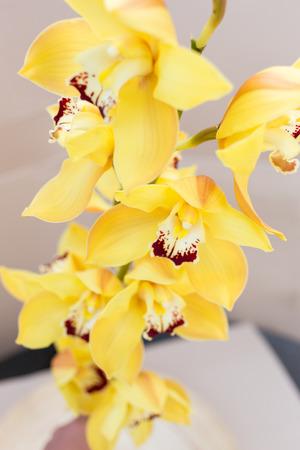 pedicel: Yellow cymbidium orchids vertical orientation