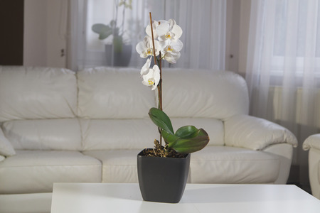 White orchids in a pot on the table at interior