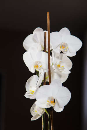 White orchids isolated on black backgroud