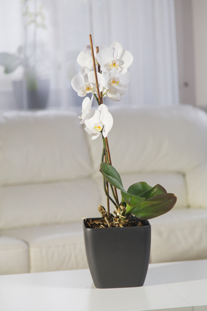 White orchids in a pot on the table an interior