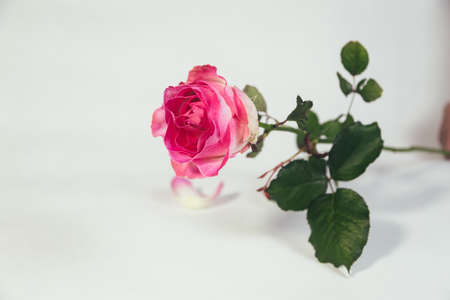 Single pink rose isolated on white background Reklamní fotografie