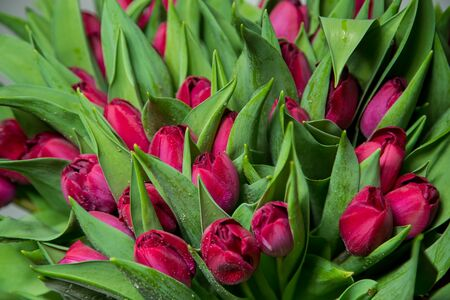 Bouquet of pink tulips close up