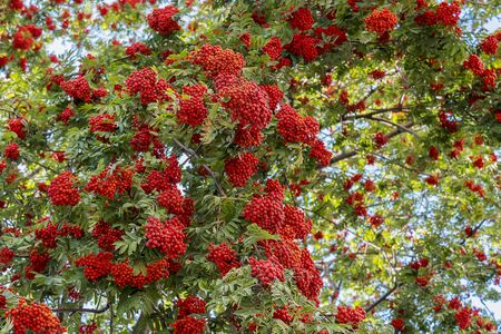 Big bush of mountain ash with red berries close-up. A tree with green foliage and ripe berries. Blurred background.