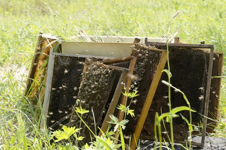 Bees collect honey from old honeycombs. Insects work collecting honey on a green meadow.