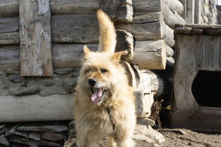 A happy red dog with an open mouth next to a wooden house. Dog house in the countryside, a dog on a leash.
