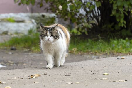 A multi-colored cat with white breasts is walking along the asphalt with yellow autumn leaves. A contented cat walks along the road with her eyes closed. Moving towards us, warm autumn with leaves. 写真素材 - 133345573
