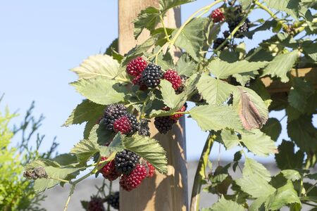 The black and red berry, a large blackberry, grows near the fence. Harvest ripe berries in the summer on a sunny day. Green leaves on a blue sky. 写真素材