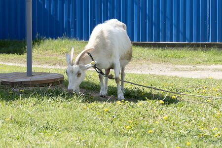 Rural goat with red spots grazing on a leash in the field. Green grass, pet goat eats and sniffs the grass. The rope keeps the white goat from escaping.