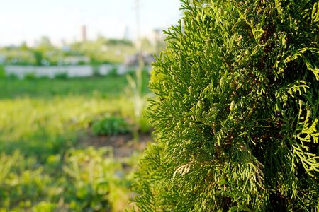 Green coniferous thuja close-up. A tree with green branches on a sunny, clear day. Thuja orientalis 写真素材