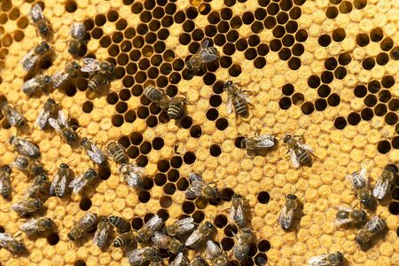 Working bees on honeycombs in beehives in an apiary. Honey-filled frame with honeycombs closeup, view of the working bees on honey cells. Bee on a honeycomb with slices of nectar in a cell. Close-up o
