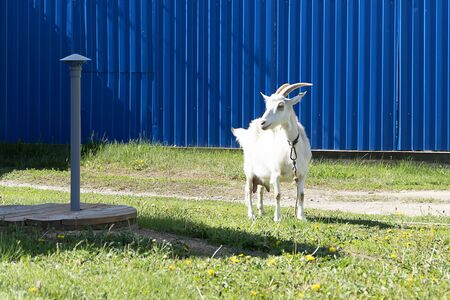White goat grazes on a leash. Green grass, pet goat eats grass. The rope keeps the goat from escaping.