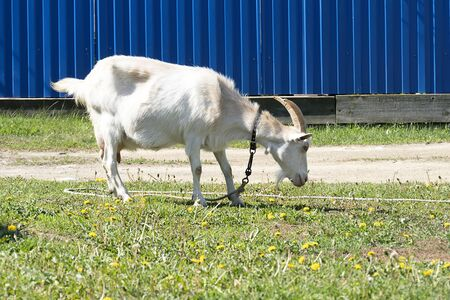 A rural goat grazes on a leash. Green grass, pet goat eats grass. The rope keeps the white goat from escaping. 写真素材