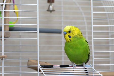 A wavy green parrot sits in an open cage. Beautiful talking bird with a yellow head. Cute green budgie close-up.