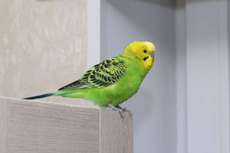 A beautiful talking parrot bird with a yellow head sits on a wooden shelf. Sucked wavy green parrot. Beautiful domestic parrot close-up.