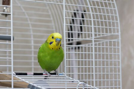 A wavy green parrot sits in an open cage. A beautiful talking bird with a yellow head looks sideways. Beautiful parrot close-up.