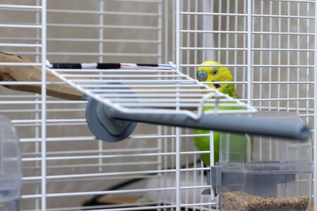 Poultry sleeping in a cage with eyes closed. A beautiful parrot with a golden head, near a food tray. Wavy green parrot.