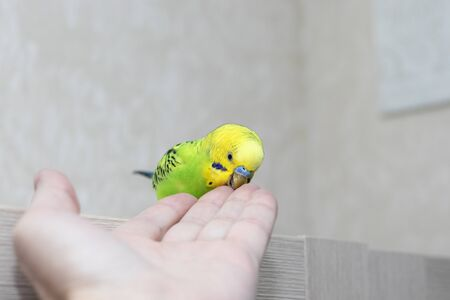 Tamed poultry eats from the hand. Beautiful parrot close-up. Wavy green parrot is hand speaking.