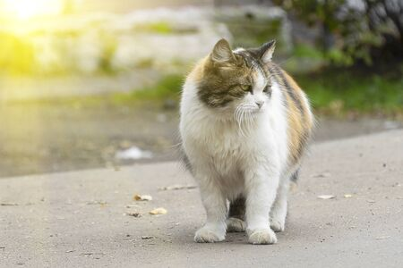 A multi-colored cat goes along the road, crosses the street. Pet walks, look to the side. Autumn leaves on the road. The concept of the owners kicked out of the house. 写真素材