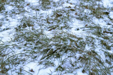 Green grass lawn in the snow. The first white snow fell on the grass. White fluffy new snow crystals lies on the grass.