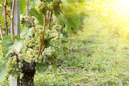 Vineyards with green fruits and leaves. Harvest grapes harvesting for wine. Green grape bushes in even rows on the ground.