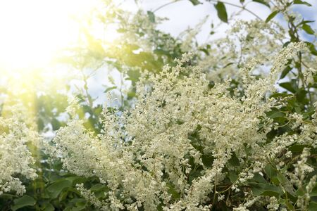 A tree with white beautiful flowers. Similar to jasmine or cherry. Blooming tree with small flowers, spring sunlight, southern shrubs. 写真素材