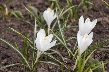 White snowdrop flower blossomed. Spring is a new life. Scientific name Crocus flavus Weston Stock fotó