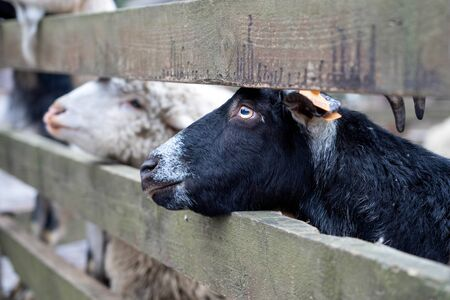 A black goat with horns peeps out from behind a fence. The animal outdoors looks at the camera.