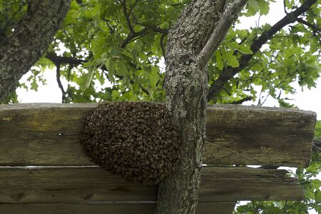 A swarm of bees on a tree in a large group. A beekeeper is preparing to collect bees from a tree.