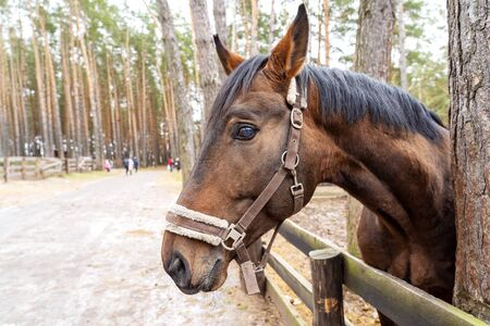A brown horse peeks out from behind a wooden fence near the trees. An animal with a white bridle in the forest on the street in the corral. The horse looks forward with a proud look with raised ears. The head of the horse reaches forward.