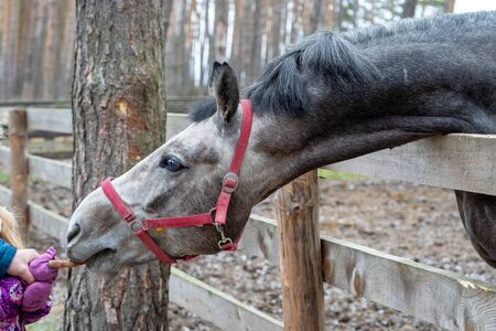 The head of a gray horse peeks out from behind a wooden fence. An animal with a red bridle in the forest on the street in the corral. A hand feeds a horse a carrot.