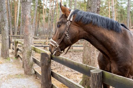 A brown horse peeks out from behind a wooden fence near the trees. An animal with a white bridle in the forest on the street in the corral. The horse looks forward with a proud look with raised ears.