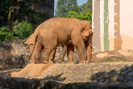 Big elephant mom with a small child. Elephant with white tusks. Summer sunny day, stone fence.  写真素材